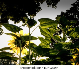 Sunflowers with morning light