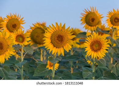 Sunflowers in the morning in turkey