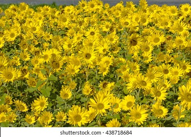 Sunflowers nature spring background