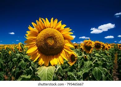 Sunflowers, Nobby, Queenslad