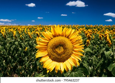 Sunflowers, Nobby, Queensland