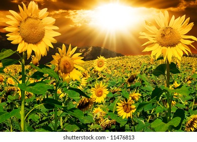 Sunflowers on a background of magic sky