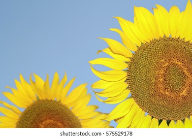 sunflowers on bure sky background . Close up of sunflower