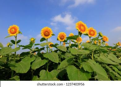 Sunflowers on a farm, China