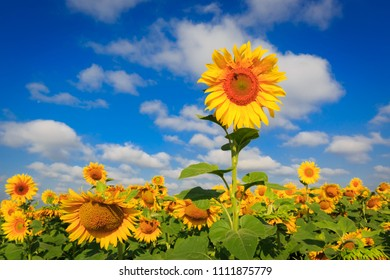 sunflowers on farming field in summer time