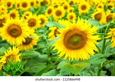 a lot of sunflowers on the field