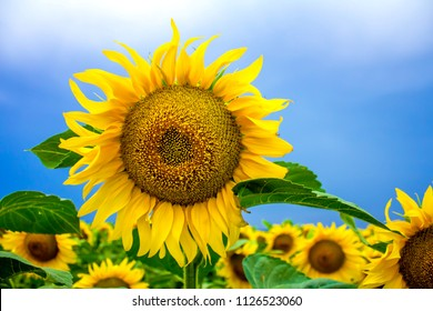 sunflowers on the field