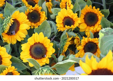 Sunflowers on a market and a little bumblebee. High quality photo. Selective focus