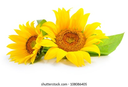 Sunflowers are on a white background