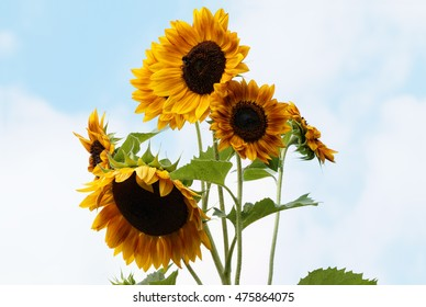Sunflowers with opened Blossoms - Helianthus annuus