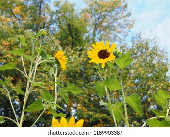 Sunflowers in a park