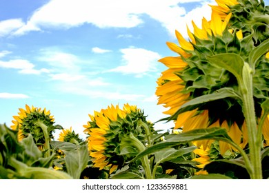 Sunflowers plantation seen from behind with sky and clouds.