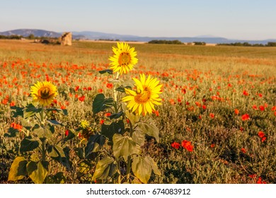 Sunflowers with the poppy field in background, Provence, France. Partial focus