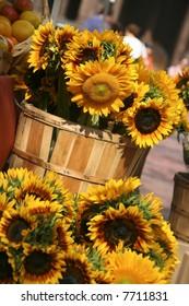 Sunflowers for sale in Copley Square in Boston Massachusetts