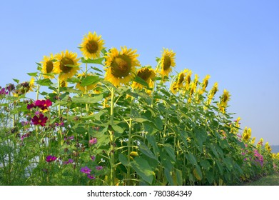 Sunflowers, short-lived plants, seeds, flowers are beautiful, almost every area