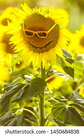 sunflowers smiling on a field of sunflowers in the summer, on a sunny day