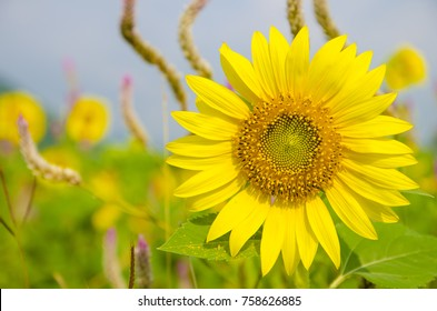 Sunflowers sprang up in the meadow