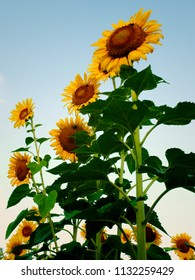 Sunflowers standing tall at Dorothea Dix Park in Raleigh North Carolina