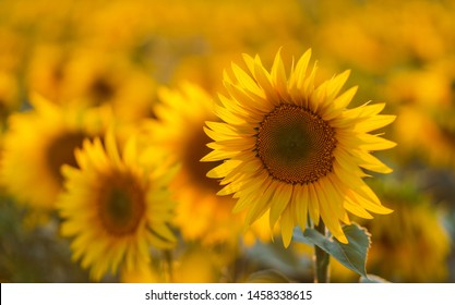 Sunflowers in sun close up with soft focus. Country field natural background. Sunflower blooming. Sunset above orange flowers. Nice harvest at autumn. Vibrant summer image.