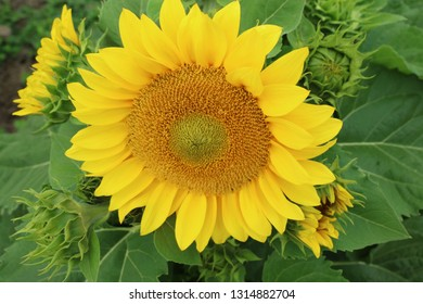 Sunflowers or sun flowers Mornington Peninsula, Victoria, Australia February 15 2019.  Yellow unique sunflowers in the development trial area for Copsley Ornamentals.  FleuroSun (TM)