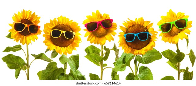 Sunflowers with sunglasses isolated on white background