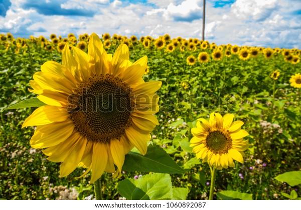 Sunflowers. Sunny day