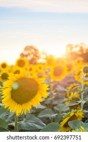 Sunflowers in the sunset / Field of Sunflowers under bright skies