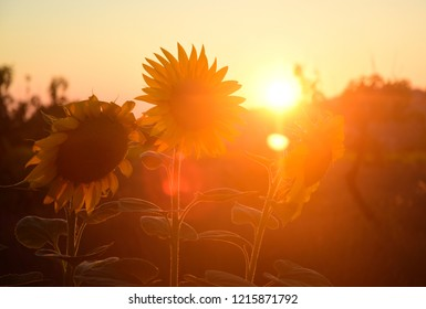 Sunflowers at Sunset - Stari Grad, Croatia