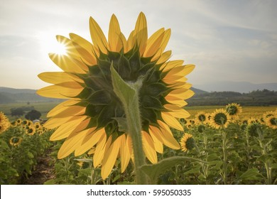 Sunflowers in a sunshine day, sunflowers are facing with the sun