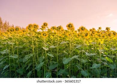 Sunflowers turning towards the sun.