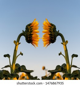 Sunflowers viewed from the side, facing one another, illustrating the psychological concept of mirroring, mirror image and projection