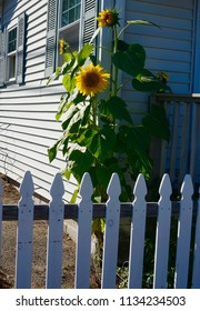 Sunflowers And White Fence
