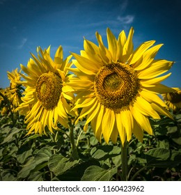 Sunflowers wide angle