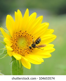 Sunflowers and working bees