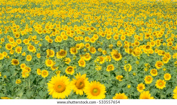 Sunflowers in yellow field of sunflowers