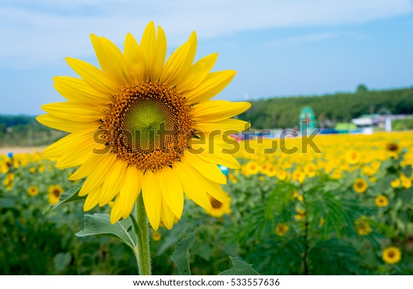 Sunflowers in yellow field and green leaves sunflower