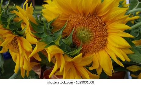 Sunflowers yellow orange green flowers