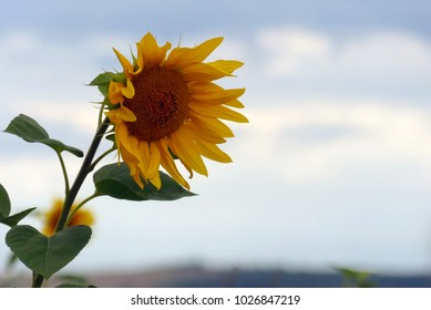 sunfower with leaves