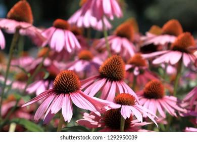 Sunhat, Echinacea Medical Plant