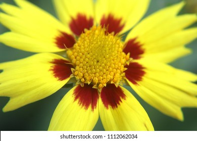 Sunkiss Coreopsis grandiflora - bright yellow flowers