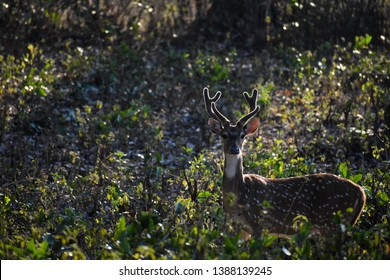 the sunkissed antler of a common deer