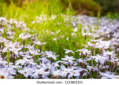 Sun-kissed Meadows with White Star Flowers at the Spring Festival - Floriade in Canberra in Australian Capital Territory.