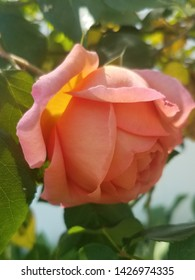Sunkissed Peach Colored Rose in Bloom
