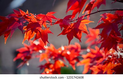 Sun-kissed red Maple leafs on a neutral background