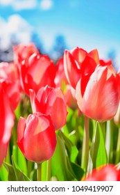 Sunkissed Tulips Background