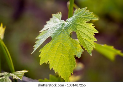 sunkissed vine leaf in Italy