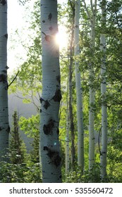 sunlight from behind a birch tree