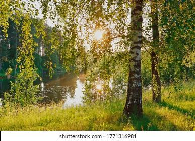 Sunlight in birch trees near the river in midsummer summer in midnight sunlight