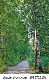 Sunlight in birch trees on a beautiful midsummer day