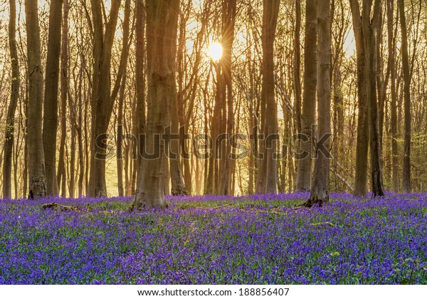 Sunlight bursting through the trees just after dawn in a beech woodland full of bluebells near to Micheldever in Hampshire, England.